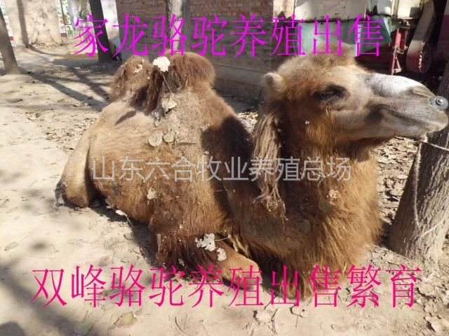 山东 成年双峰骆驼 可供公园拍照租赁 养殖基地销售