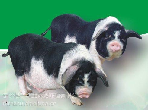 湖南优质土花猪统货欢迎采购