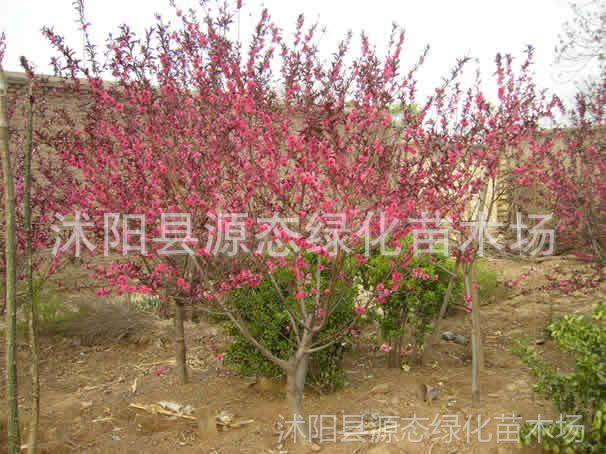 供应 紫叶桃 花卉风景树 红叶桃 紫叶碧桃 园林绿化苗木植物