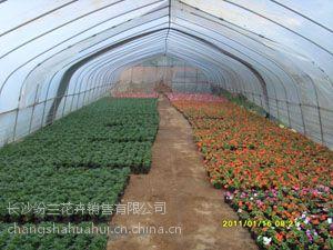 长沙基地石竹三色堇羽衣甘蓝菊花大量出售春林花卉基地