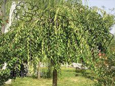 供应金叶垂榆价格|优质嫁接金叶垂榆|苗木接穗生产|东北辽宁批发求购