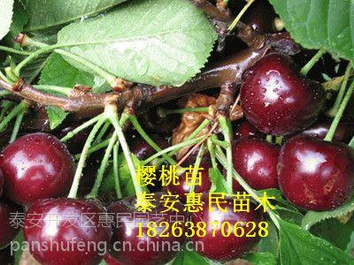 山东大樱桃树苗品种 黑珍珠樱桃树苗 俄罗斯8号樱桃苗批发价格