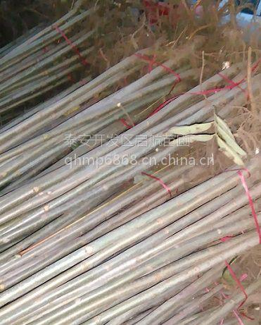 50厘米高红油香椿树苗批发价格