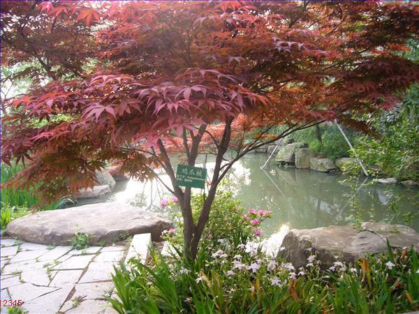 壁纸 枫叶 红枫 树 600_450图片