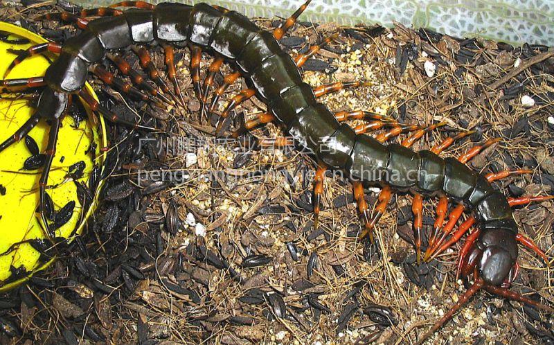 蜈蚣活体 另类小宠物海南间脚蜈蚣总长16~18CM发货包风险