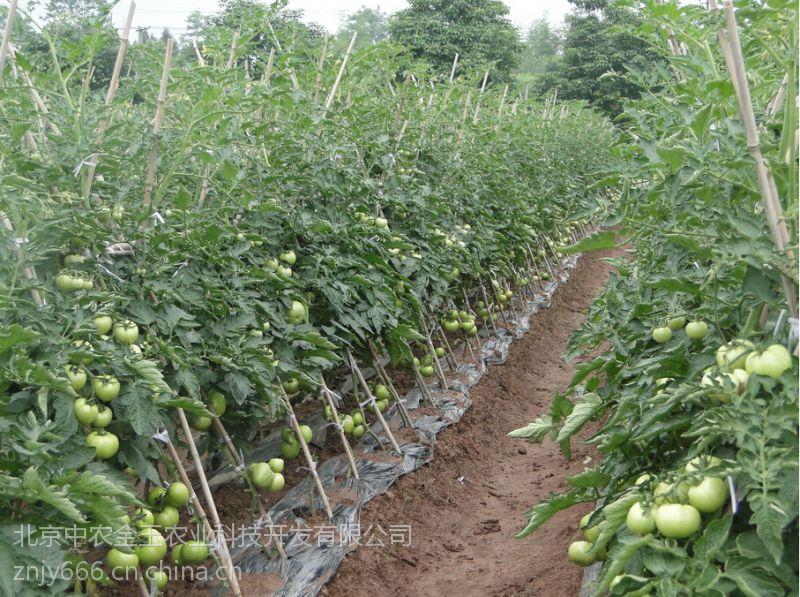 荷兰超早二号-早熟番茄种子,高产番茄种子