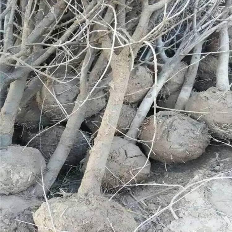 山东汽油挖树机 园林起树机 大马力汽油移苗机