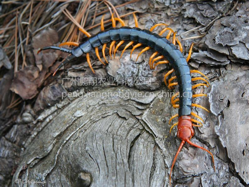 蜈蚣活体 活蜈蚣批发龙鱼饲料活体饵料红头蜈蚣个大体壮