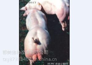 鄂美PIC337公猪