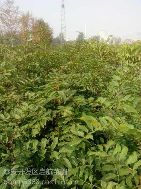 1.2米高大红袍花椒苗批发价格