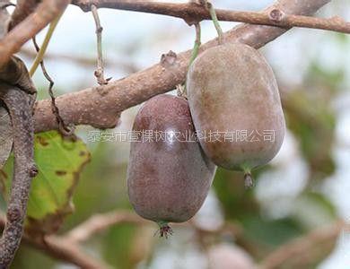 软枣猕猴桃苗 软枣猕猴桃树苗