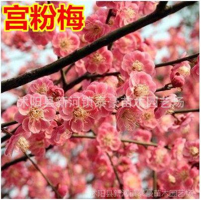 梅花花苗 庭院盆栽盆景花卉植物嫁接梅花树苗