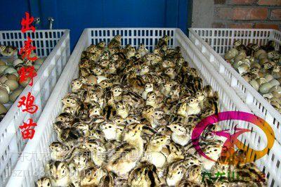 【供应汕头野鸡苗-汕尾珍珠鸡苗-养殖成活率高】图片