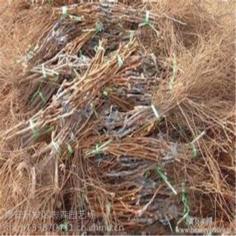 志森园艺嫁接葡萄苗品种 嫁接克伦森葡萄苗规格 质优价廉