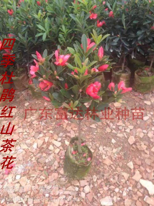 杜鹃红山茶花_广东阳江供应供应四季杜鹃红山茶花小苗价格 - 中国供应商