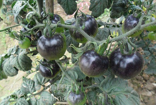 黑玫瑰纯黑番茄种子