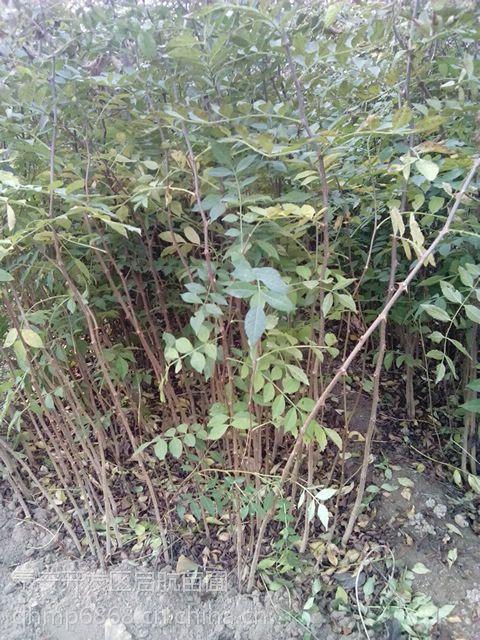 0.3公分花椒苗种植基地,花椒苗批发价格