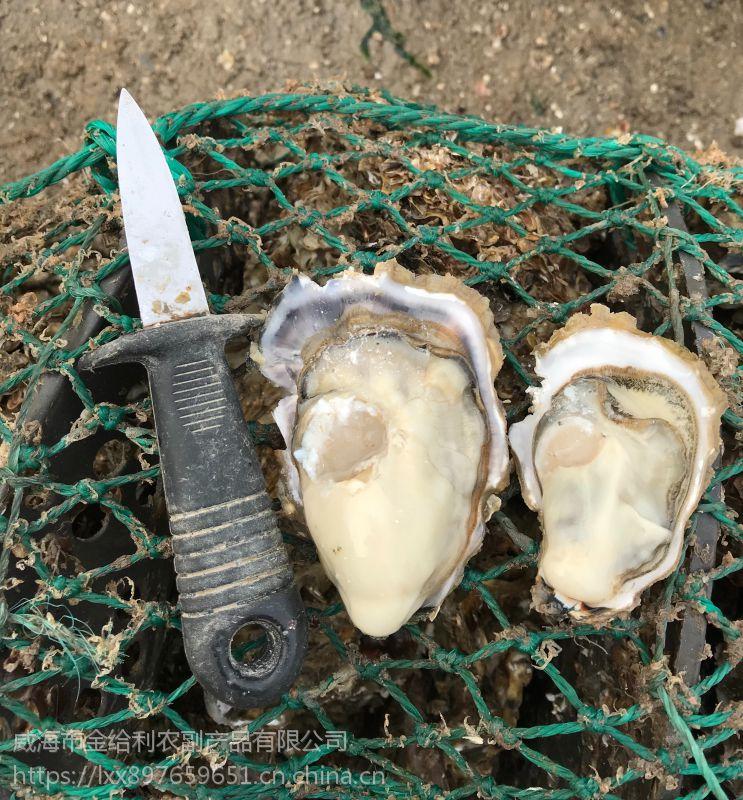 三倍体牡蛎养殖 刺身生蚝货源