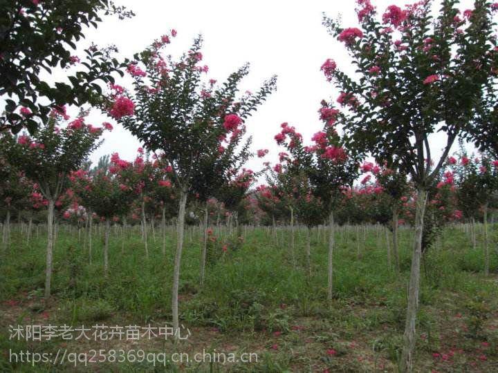 地径2-3公分紫薇种植地价格