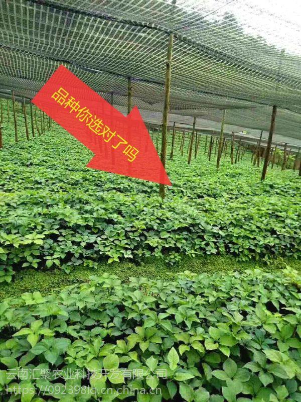 云南滇重楼三年种苗 提供种植技术