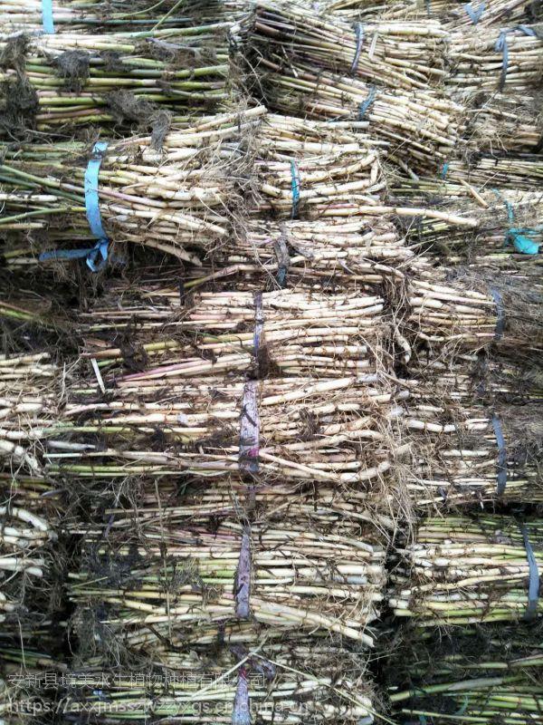 大量销售白洋淀芦苇野生芦苇苗18833230022