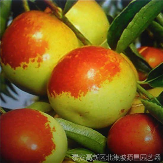 枣阳哪里有卖枣树苗 价格是多少 泰安源昌苗圃批发