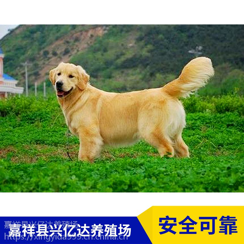 嘉祥县兴亿达精品金毛犬幼崽养殖场直销
