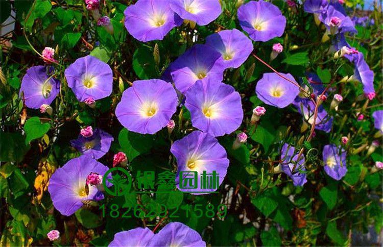 牵牛花种子囹�a_批发牵牛花种子喇叭花地被草花耐热耐旱价格低花期长 适于庭院绿篱