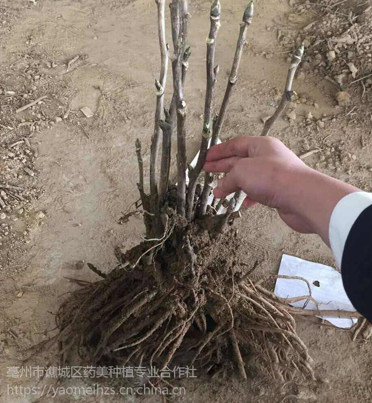 亳州油用牡丹苗 基地低价批发一年二年三年牡丹苗
