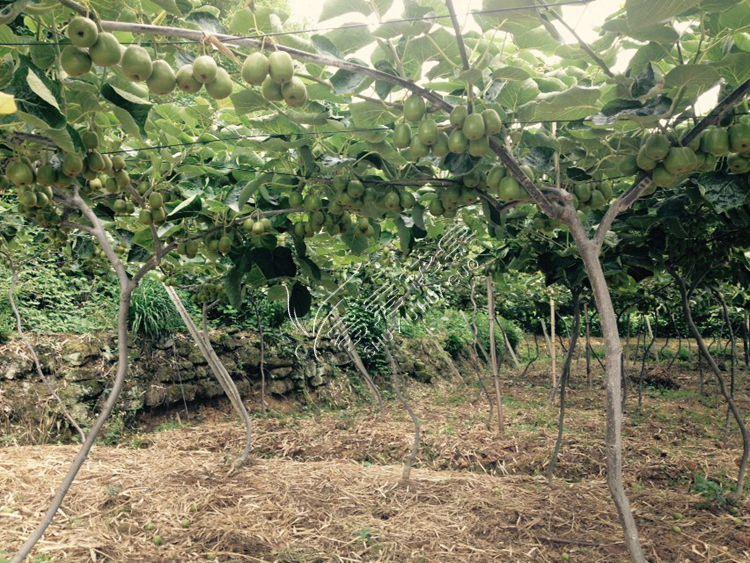 猕猴桃树移栽最佳月份_猕猴桃树几月份开花图片