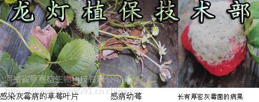 龙灯生物灰霉三合一专治草莓、番茄、菊花、大葱等等灰霉病的特效药