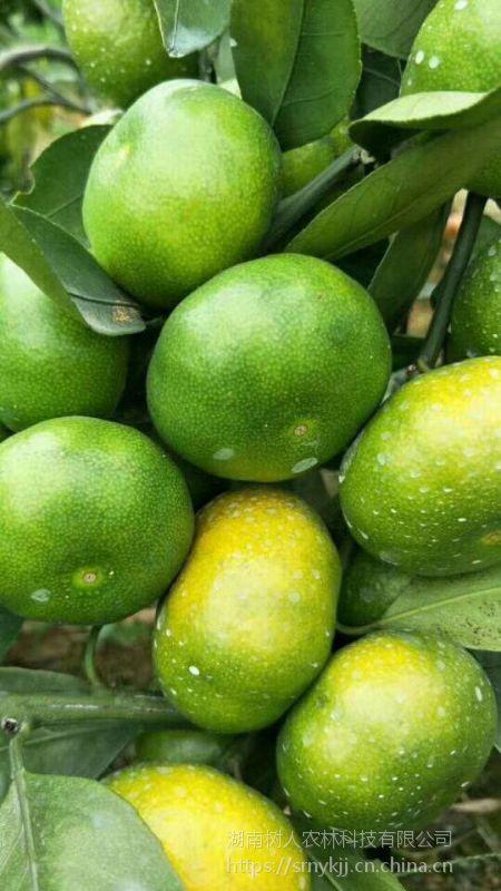 云南省早熟柑橘苗在哪里买的 云南特早蜜桔品种大分一号