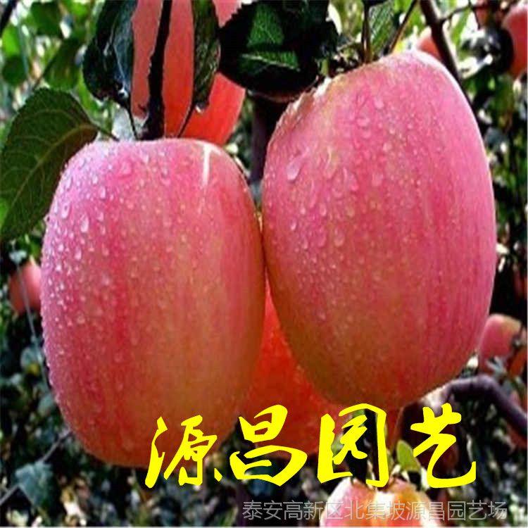 凉哪里有卖苹果树苗的 泰安源昌苗圃批发 国泰民安
