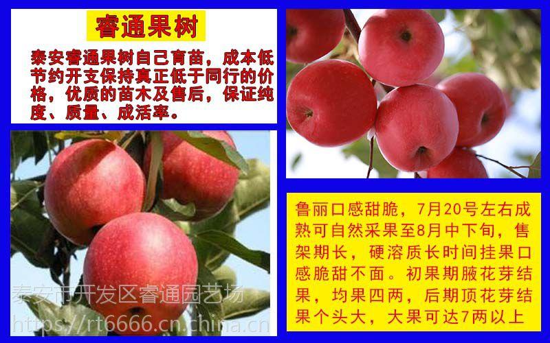 2公分鲁丽苹果苗、维纳斯黄金苹果苗价格、新梨7梨苗基地