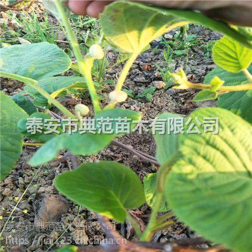徐香猕猴桃苗价格 徐香猕猴桃苗 适应性强品质优良