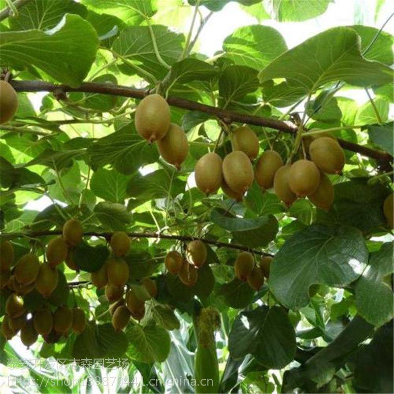 志森园艺红阳猕猴桃价格 嫁接红阳猕猴桃规格 品质纯正