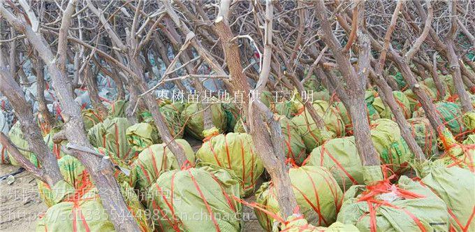 枣树苗批发价格 枣树苗品种齐全