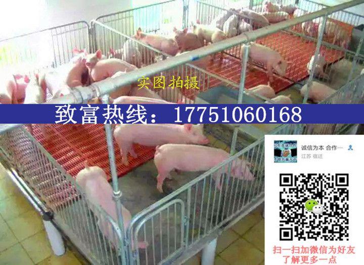 仔猪的市场价格是多少仔猪今天多少钱一斤