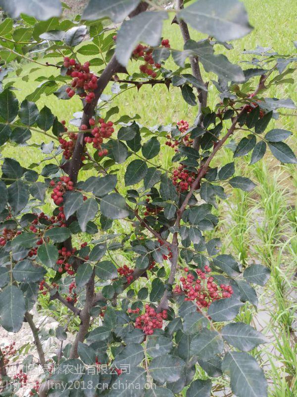 无刺大红袍的生长习性 无刺大红袍果实成熟过程,