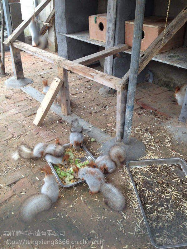 松鼠养殖场哪里有卖松鼠的批发松鼠