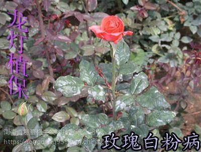 龙灯生物消白三合一针对白粉病特效药,葡萄白粉病、黄瓜白粉病、草莓白粉病、玫瑰白粉病防控用消白