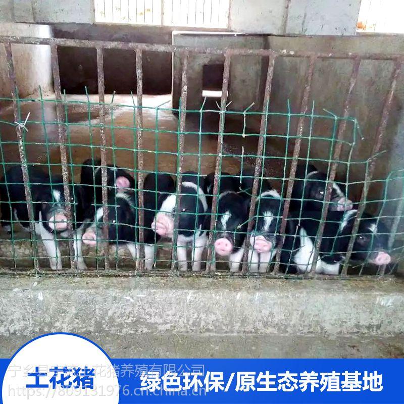 湖南宁乡土花猪放心食用野猪肉土花猪宝宝野猪排骨厂家价格