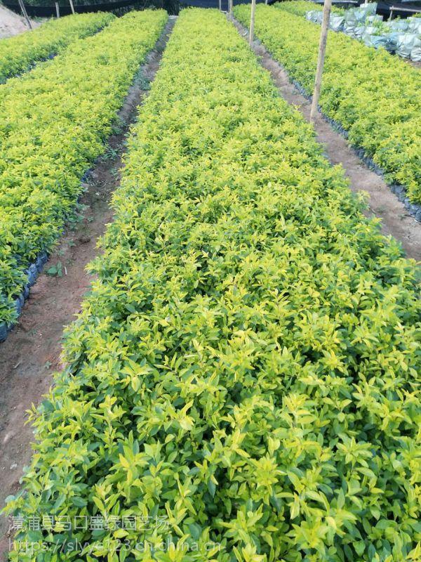 广东黄心梅高20公分哪里有货,黄心梅地被移栽技巧美化环境