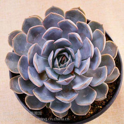 菲欧娜 多肉植物组合盆栽室内绿植花卉肉肉花盆