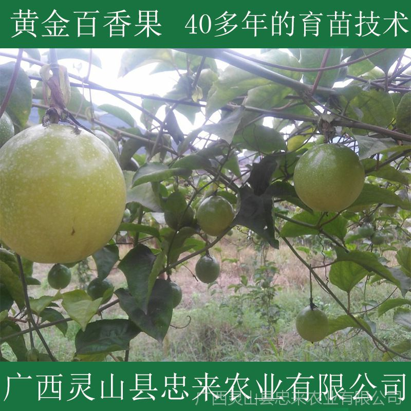 大量供应黄金百香果苗 种子苗营养杯 百香果树苗 庭院果树苗