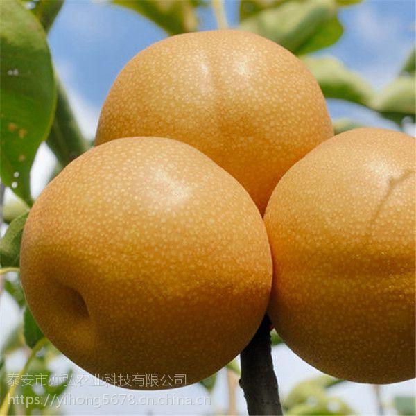 绿宝石梨树苗品种推荐