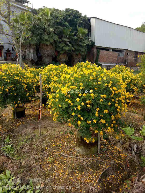 贵州双荚槐球带花的,贵州双荚槐球价格多少