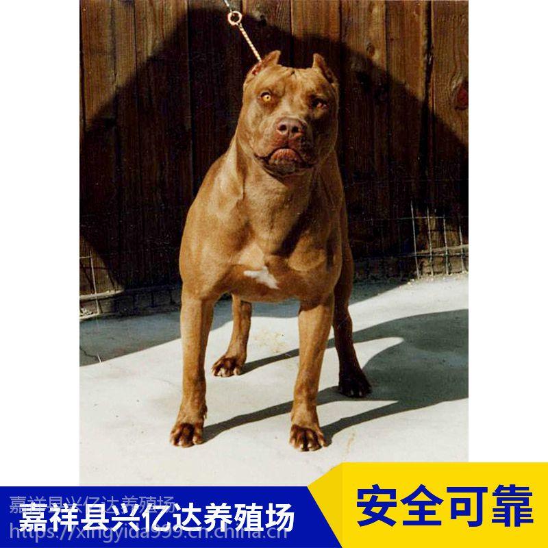 嘉祥县兴亿达纯种比特犬狩猎犬养殖场供应