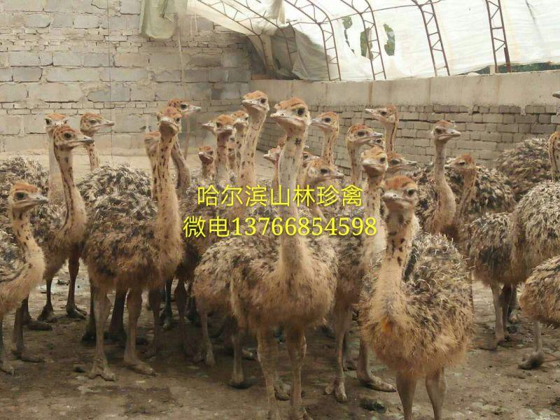 黑龙江鸵鸟养殖场 东北黑龙江养殖鸵鸟黑龙江鸵鸟养殖东北黑龙江出售蓝孔雀