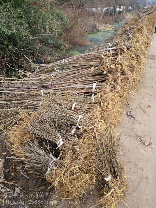 【构树小苗】规格1米,1.5米,2米高构树小苗价格图片